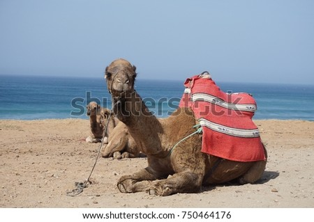 Camel with babies in Morocco