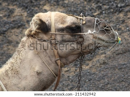 Camel with mask and dummy, Lanzarote, Canary Islands - stock photo