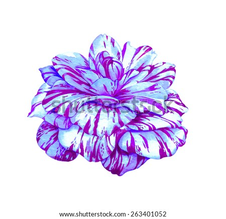 camellia flower. a very detailed realistic illustration of an exotic flower drawn by me. chrysanthemum with striped petals. - stock photo