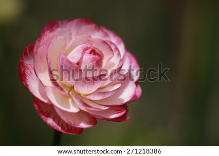 Camellia Flower, camellia blooming in the spring  - stock photo
