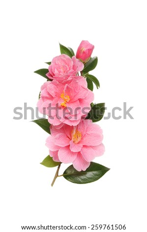 Camellia flowers foliage and bud isolated against white - stock photo