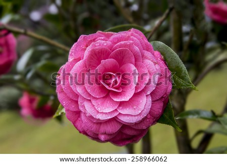 Camellia flowers in the rain. - stock photo