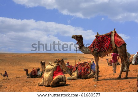 Camels around the pyramids waiting for tourists, Egypt (HDR Photo) - stock photo