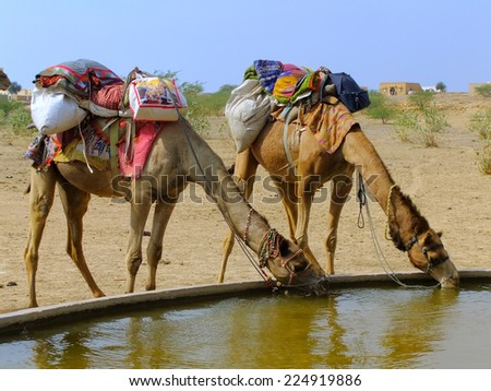 Camels drinking from reservoir in a small village during camel safari, Thar desert, Rajasthan, India - stock photo