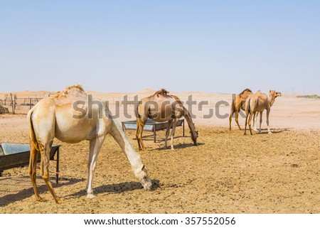 Camels eating the grass in the Sahara desert, Morocco  - stock photo