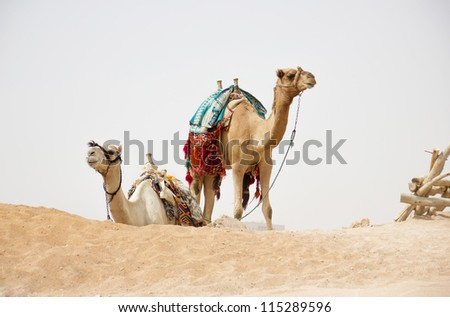 camels in nature - stock photo