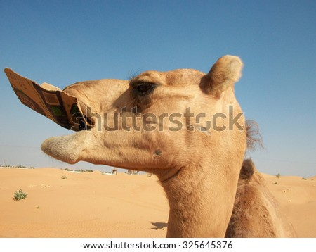 Camels in the desert. Filming of camels during a trip to the Emirates. - stock photo