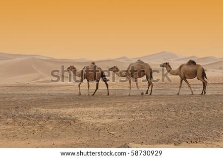 Camels in the Dubai Desert - stock photo
