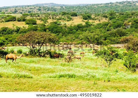 Camels in the highlands of Salalah, Dhofar, Sultanate of Oman