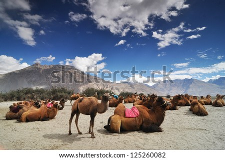 Camels in the Nubra Valley. Ladakh. India - stock photo