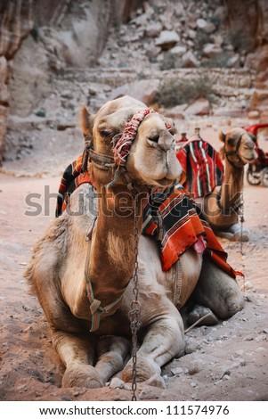 Camels in town of Petra, Jordan - stock photo