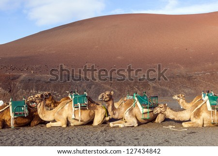 camels in volcanic area in Lanzarote - stock photo