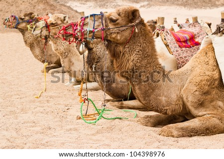 camels on the rest - stock photo