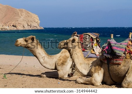 Camels 'parked' on the beach at the Blue Hole, a wonderful diving spot in Egypt, on the Red Sea, Sinai peninsula. - stock photo
