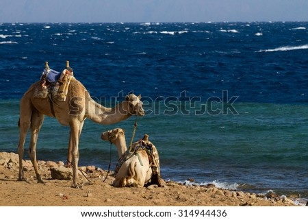 Camels 'parked' on the beach at the Blue Hole, a wonderful diving spot near Dahab in Egypt, on the Red Sea, Sinai peninsula. - stock photo