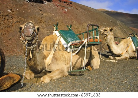 camels sitting in the Timanfaya National Park, in Lanzarote, Canary Islands - stock photo