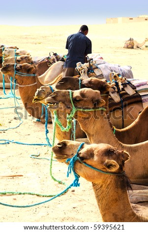 Camels waiting for ridding - stock photo