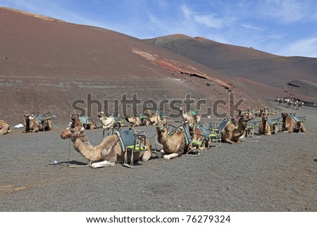 camels waiting for tourists. location: Timanfaya Nationalpark,  Lanzarote , volcanic island in the atlantic ocean. Lanzarote is one of the canary islands. - stock photo