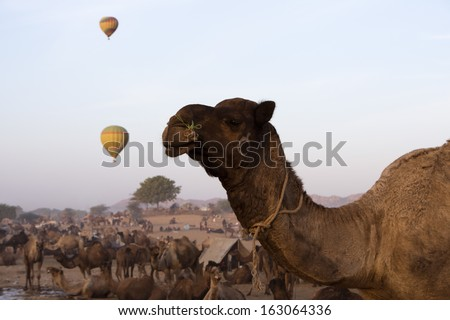 Camels with hot air balloons in the background in Pushkar Camel Fair, Pushkar, Ajmer, Rajasthan, India - stock photo