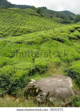 Cameron Highland's Tea plantation - stock photo