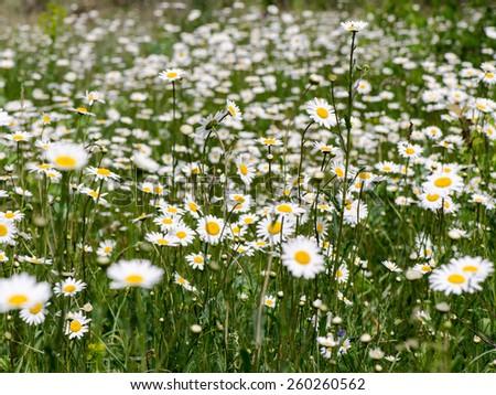 camomile field - stock photo