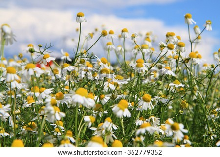 camomile field and blue sky as nice background - stock photo