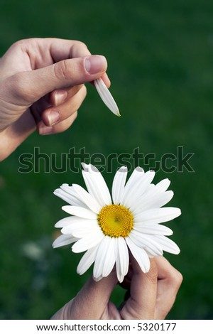 Camomile flower close up in hands - stock photo