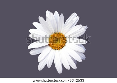 Camomile flower close up isolated on gray background