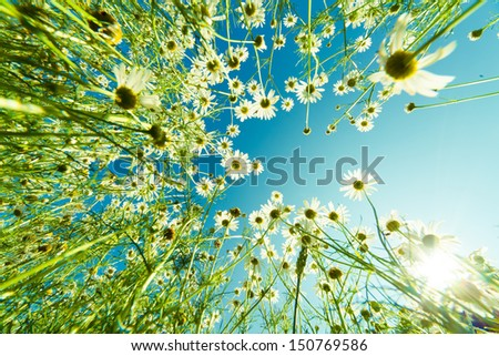 Camomile flower in summer field - stock photo