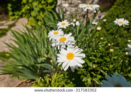 camomile flowers at sunny day - stock photo