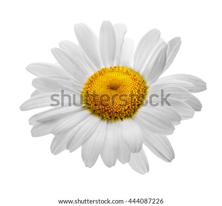 camomile flowers isolated on white background clipping path