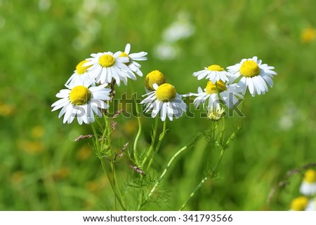 Camomile flowers on a meadow - stock photo