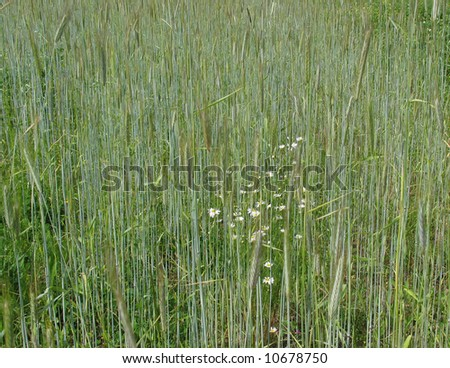 Camomile grows on a field with wheat - stock photo