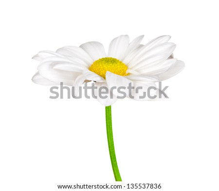 Camomile isolated on white - stock photo