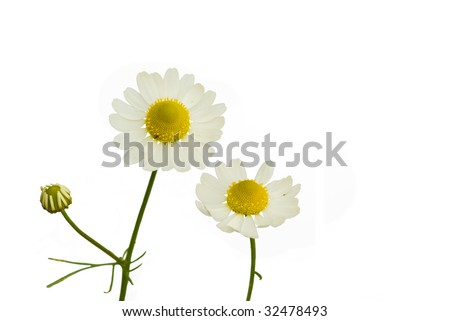 Camomile (Matricaria recutita) on the white background - stock photo