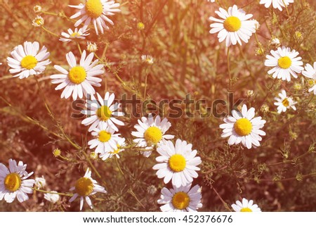 Camomile meadow in clear sunny day in summer. Instagram effect - stock photo