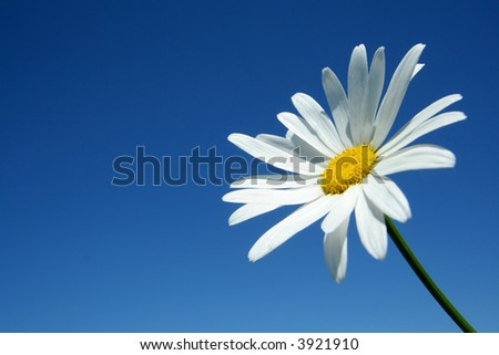 Camomile on a background of the sky