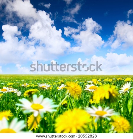 Camomiles and dandelions in the meadow - stock photo