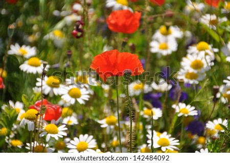 Camomiles and poppies meadow in sunny day