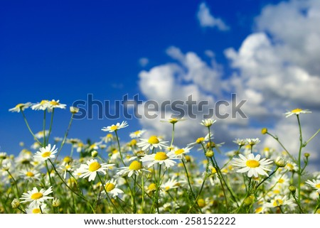 camomiles flowers on cloudy sky - stock photo