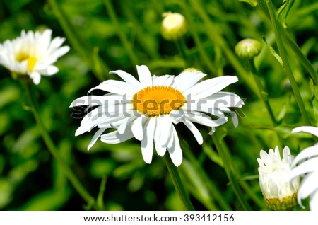 Camomiles growing on green meadow. - stock photo