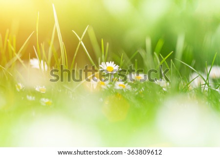 Camomiles in green gras, close up - stock photo