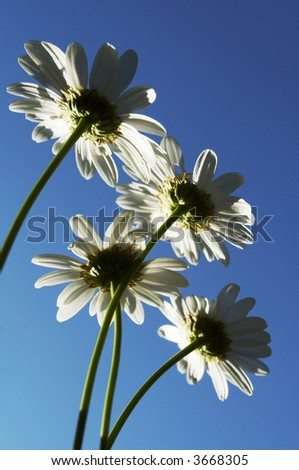 Camomiles on blue background