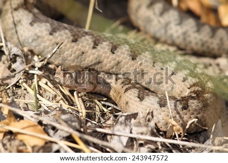 camouflage of a large  Vipera ammodytes female ( European sand viper, or nose horned viper, the most dangerous of all snakes from Europe ) - stock photo