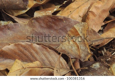 Camouflaged Common Evening Brown Butterfly (Melanitis leda) in the rainforest - stock photo