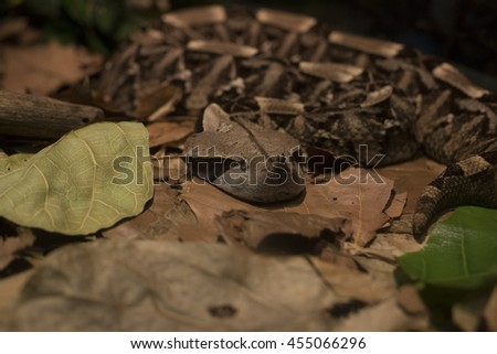 Camouflaged Gaboon viper - stock photo