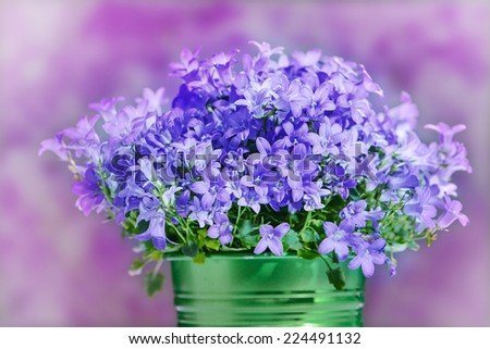 Campanula bell flowers - stock photo