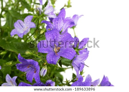 Campanula bell flowers with water drops after rain on white background - stock photo