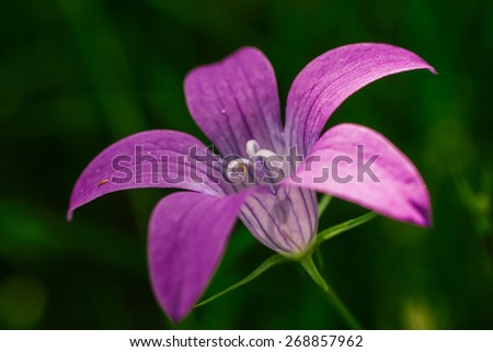 Campanula bellflower wildflower close up on green background, selective focus - stock photo