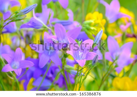 Campanula flowers on a meadow, close up view, selective focus - stock photo